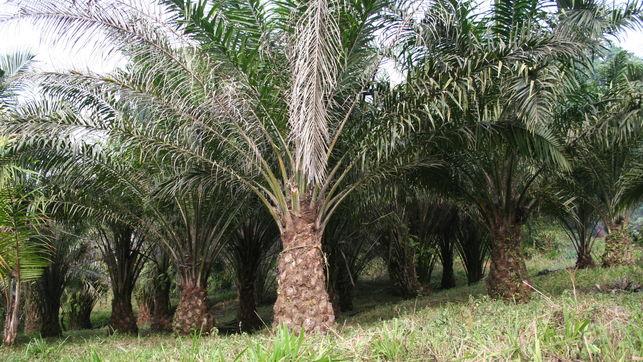 plantacion-palma-africana-aceitera_ediima20170403_0691_4