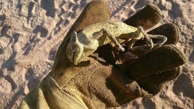 camaleon-muerto-incendio-pinares-mazagon_ediima20170627_0748_4
